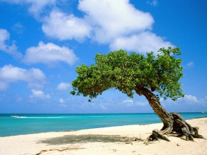 Divi-divi Tree